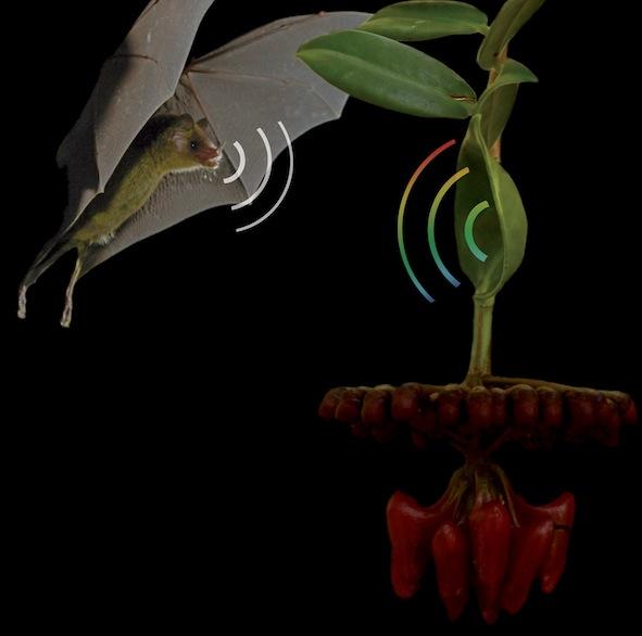 Fledermaus Pflanze Echo